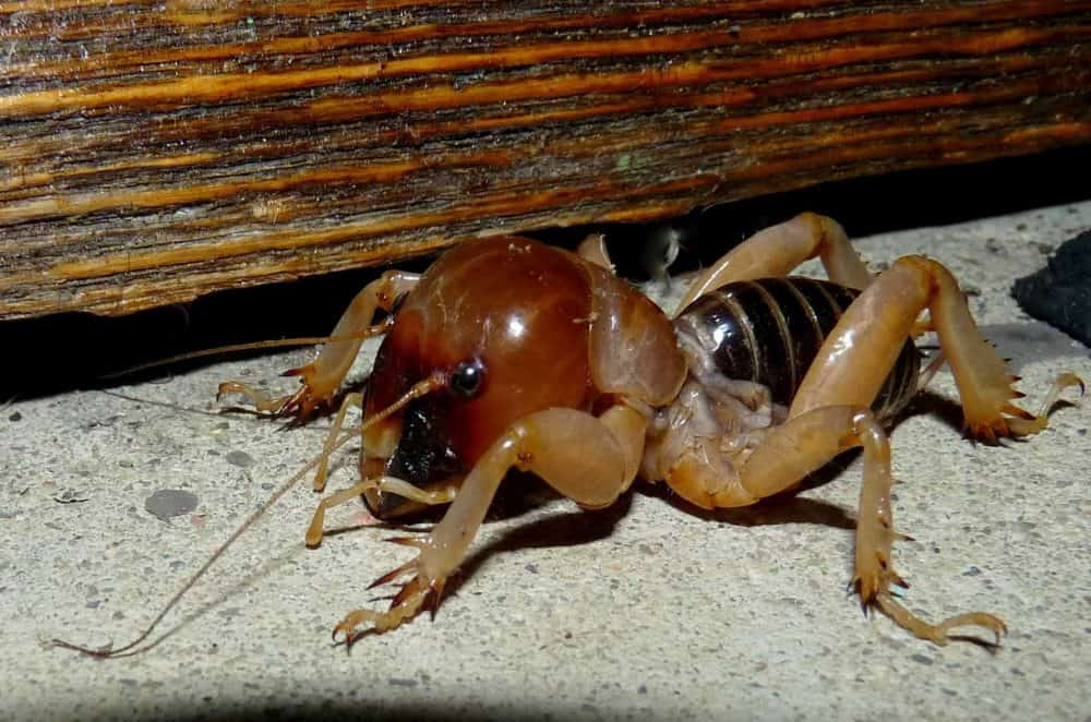 are potato bugs poisonous